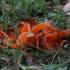 Oranžinis lėkščiagrybis - Aleuria aurantia   Fotografijos autorius : Vytautas Gluoksnis   © Macrogamta.lt   Šis tinklapis priklauso bendruomenei kuri domisi makro fotografija ir fotografuoja gyvąjį makro pasaulį.