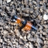Trumpasparnis - Oxyporus rufus rufus (Linnaeus, 1758)   Fotografijos autorius : Vitalii Alekseev   © Macrogamta.lt   Šis tinklapis priklauso bendruomenei kuri domisi makro fotografija ir fotografuoja gyvąjį makro pasaulį.