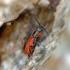 Pūsliavabalis - Anthocomus rufus  | Fotografijos autorius : Kazimieras Martinaitis | © Macrogamta.lt | Šis tinklapis priklauso bendruomenei kuri domisi makro fotografija ir fotografuoja gyvąjį makro pasaulį.