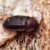 Pūzrinis skydvabalis - Peltis ferruginea | Fotografijos autorius : Vitalii Alekseev | © Macrogamta.lt | Šis tinklapis priklauso bendruomenei kuri domisi makro fotografija ir fotografuoja gyvąjį makro pasaulį.