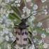 Pachytodes cerambyciformis - Išvartinis vėtrasekis | Fotografijos autorius : Giedrius Markevičius | © Macrogamta.lt | Šis tinklapis priklauso bendruomenei kuri domisi makro fotografija ir fotografuoja gyvąjį makro pasaulį.