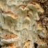 Pakopinė antrodija - Neoantrodia serialis | Fotografijos autorius : Vytautas Gluoksnis | © Macrogamta.lt | Šis tinklapis priklauso bendruomenei kuri domisi makro fotografija ir fotografuoja gyvąjį makro pasaulį.