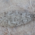 Palšasis semioskopis - Semioscopis strigulana | Fotografijos autorius : Žilvinas Pūtys | © Macrogamta.lt | Šis tinklapis priklauso bendruomenei kuri domisi makro fotografija ir fotografuoja gyvąjį makro pasaulį.