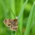 Panemeria tenebrata - Mažasis žliūginukas | Fotografijos autorius : Vidas Brazauskas | © Macrogamta.lt | Šis tinklapis priklauso bendruomenei kuri domisi makro fotografija ir fotografuoja gyvąjį makro pasaulį.