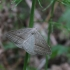Papartinis sprindžius - Petrophora chlorosata | Fotografijos autorius : Vytautas Gluoksnis | © Macrogamta.lt | Šis tinklapis priklauso bendruomenei kuri domisi makro fotografija ir fotografuoja gyvąjį makro pasaulį.