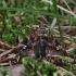 Papartinukas - Callopistria juventina   Fotografijos autorius : Vytautas Gluoksnis   © Macrogamta.lt   Šis tinklapis priklauso bendruomenei kuri domisi makro fotografija ir fotografuoja gyvąjį makro pasaulį.
