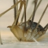 Paprastasis šienpjovys - Phalangium opilio (patinas) | Fotografijos autorius : Vidas Brazauskas | © Macrogamta.lt | Šis tinklapis priklauso bendruomenei kuri domisi makro fotografija ir fotografuoja gyvąjį makro pasaulį.