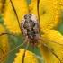 Paprastasis šienpjovys - Phalangium opilio   Fotografijos autorius : Gintautas Steiblys   © Macrogamta.lt   Šis tinklapis priklauso bendruomenei kuri domisi makro fotografija ir fotografuoja gyvąjį makro pasaulį.