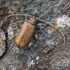 Paprastasis vorvabalis - Ptinus fur | Fotografijos autorius : Kazimieras Martinaitis | © Macrogamta.lt | Šis tinklapis priklauso bendruomenei kuri domisi makro fotografija ir fotografuoja gyvąjį makro pasaulį.