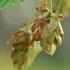 Paprastasis apynys - Humulus lupulus | Fotografijos autorius : Gintautas Steiblys | © Macrogamta.lt | Šis tinklapis priklauso bendruomenei kuri domisi makro fotografija ir fotografuoja gyvąjį makro pasaulį.