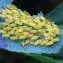Paprastasis gluosninukas - Chrysomela saliceti, kiaušiniai   Fotografijos autorius : Romas Ferenca   © Macrogamta.lt   Šis tinklapis priklauso bendruomenei kuri domisi makro fotografija ir fotografuoja gyvąjį makro pasaulį.