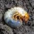 Paprastasis grambuolys - Melolontha melolontha, lerva | Fotografijos autorius : Romas Ferenca | © Macrogamta.lt | Šis tinklapis priklauso bendruomenei kuri domisi makro fotografija ir fotografuoja gyvąjį makro pasaulį.