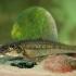 Paprastasis gružlys - Gobio gobio | Fotografijos autorius : Gintautas Steiblys | © Macrogamta.lt | Šis tinklapis priklauso bendruomenei kuri domisi makro fotografija ir fotografuoja gyvąjį makro pasaulį.