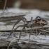 Paprastasis guolininkas - Pisaura mirabilis | Fotografijos autorius : Giedrius Markevičius | © Macrogamta.lt | Šis tinklapis priklauso bendruomenei kuri domisi makro fotografija ir fotografuoja gyvąjį makro pasaulį.