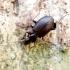 Paprastasis juodžygis - Limodromus assimilis | Fotografijos autorius : Romas Ferenca | © Macrogamta.lt | Šis tinklapis priklauso bendruomenei kuri domisi makro fotografija ir fotografuoja gyvąjį makro pasaulį.