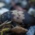 Paprastasis kailiavabalis - Dermestes lardarius | Fotografijos autorius : Žilvinas Pūtys | © Macrogamta.lt | Šis tinklapis priklauso bendruomenei kuri domisi makro fotografija ir fotografuoja gyvąjį makro pasaulį.