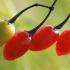 Paprastasis karklavijas - Solanum dulcamara   Fotografijos autorius : Gintautas Steiblys   © Macrogamta.lt   Šis tinklapis priklauso bendruomenei kuri domisi makro fotografija ir fotografuoja gyvąjį makro pasaulį.