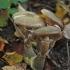 Paprastasis kelmutis  - Armillaria mellea | Fotografijos autorius : Vytautas Gluoksnis | © Macrogamta.lt | Šis tinklapis priklauso bendruomenei kuri domisi makro fotografija ir fotografuoja gyvąjį makro pasaulį.