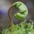 Paprastasis klevas - Acer platanoides | Fotografijos autorius : Žilvinas Pūtys | © Macrogamta.lt | Šis tinklapis priklauso bendruomenei kuri domisi makro fotografija ir fotografuoja gyvąjį makro pasaulį.