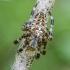 Paprastasis kryžiuotis - Araneus diadematus | Fotografijos autorius : Kazimieras Martinaitis | © Macrogamta.lt | Šis tinklapis priklauso bendruomenei kuri domisi makro fotografija ir fotografuoja gyvąjį makro pasaulį.