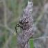 Paprastasis kryžiuotis - Araneus diadematus | Fotografijos autorius : Vytautas Gluoksnis | © Macrogamta.lt | Šis tinklapis priklauso bendruomenei kuri domisi makro fotografija ir fotografuoja gyvąjį makro pasaulį.