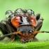 Paprastasis minkštavabalis - Cantharis fusca | Fotografijos autorius : Vidas Brazauskas | © Macrogamta.lt | Šis tinklapis priklauso bendruomenei kuri domisi makro fotografija ir fotografuoja gyvąjį makro pasaulį.