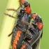 Paprastasis minkštavabalis - Cantharis fusca | Fotografijos autorius : Gintautas Steiblys | © Macrogamta.lt | Šis tinklapis priklauso bendruomenei kuri domisi makro fotografija ir fotografuoja gyvąjį makro pasaulį.