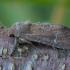 Paprastasis pašakninis pelėdgalvis - Apamea lateritia | Fotografijos autorius : Žilvinas Pūtys | © Macrogamta.lt | Šis tinklapis priklauso bendruomenei kuri domisi makro fotografija ir fotografuoja gyvąjį makro pasaulį.