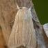 Paprastasis pievinukas - Mythimna pallens | Fotografijos autorius : Žilvinas Pūtys | © Macrogamta.lt | Šis tinklapis priklauso bendruomenei kuri domisi makro fotografija ir fotografuoja gyvąjį makro pasaulį.