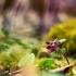 Paprastasis rūtenis - Corydalis solida | Fotografijos autorius : Vidas Brazauskas | © Macrogamta.lt | Šis tinklapis priklauso bendruomenei kuri domisi makro fotografija ir fotografuoja gyvąjį makro pasaulį.