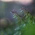 Paprastasis rūtenis - Corydalis solida   Fotografijos autorius : Agnė Našlėnienė   © Macrogamta.lt   Šis tinklapis priklauso bendruomenei kuri domisi makro fotografija ir fotografuoja gyvąjį makro pasaulį.