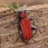 Paprastasis raudūnas - Pyrrhidium sanguineum | Fotografijos autorius : Romas Ferenca | © Macrogamta.lt | Šis tinklapis priklauso bendruomenei kuri domisi makro fotografija ir fotografuoja gyvąjį makro pasaulį.