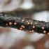Paprastasis raudonspuogis - Nectria cinnabarina | Fotografijos autorius : Agnė Kulpytė | © Macrogamta.lt | Šis tinklapis priklauso bendruomenei kuri domisi makro fotografija ir fotografuoja gyvąjį makro pasaulį.