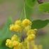 Paprastasis raugerškis - Berberis vulgaris | Fotografijos autorius : Gintautas Steiblys | © Macrogamta.lt | Šis tinklapis priklauso bendruomenei kuri domisi makro fotografija ir fotografuoja gyvąjį makro pasaulį.