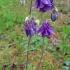 Paprastasis sinavadas - Aquilegia vulgaris | Fotografijos autorius : Gintautas Steiblys | © Macrogamta.lt | Šis tinklapis priklauso bendruomenei kuri domisi makro fotografija ir fotografuoja gyvąjį makro pasaulį.
