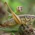 Paprastasis spragtukas - Roeseliana roeselii ♀ | Fotografijos autorius : Žilvinas Pūtys | © Macrogamta.lt | Šis tinklapis priklauso bendruomenei kuri domisi makro fotografija ir fotografuoja gyvąjį makro pasaulį.