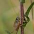Paprastasis spragtukas - Roeseliana roeselii | Fotografijos autorius : Zita Gasiūnaitė | © Macrogamta.lt | Šis tinklapis priklauso bendruomenei kuri domisi makro fotografija ir fotografuoja gyvąjį makro pasaulį.