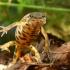 Paprastasis tritonas - Lissotriton vulgaris | Fotografijos autorius : Gintautas Steiblys | © Macrogamta.lt | Šis tinklapis priklauso bendruomenei kuri domisi makro fotografija ir fotografuoja gyvąjį makro pasaulį.