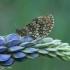 Paprastoji šaškytė - Melitaea athalia | Fotografijos autorius : Žilvinas Pūtys | © Macrogamta.lt | Šis tinklapis priklauso bendruomenei kuri domisi makro fotografija ir fotografuoja gyvąjį makro pasaulį.