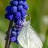 Paprastoji garstytė   Wood White   Leptidea cf. sinapis   Fotografijos autorius : Darius Baužys   © Macrogamta.lt   Šis tinklapis priklauso bendruomenei kuri domisi makro fotografija ir fotografuoja gyvąjį makro pasaulį.