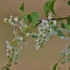 Paprastoji ieva - Prunus padus (sin. Padus avium) | Fotografijos autorius : Kęstutis Obelevičius | © Macrogamta.lt | Šis tinklapis priklauso bendruomenei kuri domisi makro fotografija ir fotografuoja gyvąjį makro pasaulį.