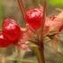 Paprastoji katuogė - Rubus saxatilis   Fotografijos autorius : Ramunė Vakarė   © Macrogamta.lt   Šis tinklapis priklauso bendruomenei kuri domisi makro fotografija ir fotografuoja gyvąjį makro pasaulį.