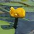 Paprastoji lūgnė - Nuphar lutea | Fotografijos autorius : Gintautas Steiblys | © Macrogamta.lt | Šis tinklapis priklauso bendruomenei kuri domisi makro fotografija ir fotografuoja gyvąjį makro pasaulį.