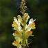 Paprastoji linažolė - Linaria vulgaris | Fotografijos autorius : Vidas Brazauskas | © Macrogamta.lt | Šis tinklapis priklauso bendruomenei kuri domisi makro fotografija ir fotografuoja gyvąjį makro pasaulį.