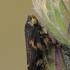 Paprastoji seiliūgė - Philaenus spumarius | Fotografijos autorius : Gintautas Steiblys | © Macrogamta.lt | Šis tinklapis priklauso bendruomenei kuri domisi makro fotografija ir fotografuoja gyvąjį makro pasaulį.