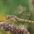 Paprastoji skėtė - Sympetrum vulgatum ♀ | Fotografijos autorius : Gintautas Steiblys | © Macrogamta.lt | Šis tinklapis priklauso bendruomenei kuri domisi makro fotografija ir fotografuoja gyvąjį makro pasaulį.