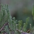 Pataisas varinčius - Spinulum annotinum   Fotografijos autorius : Kęstutis Obelevičius   © Macrogamta.lt   Šis tinklapis priklauso bendruomenei kuri domisi makro fotografija ir fotografuoja gyvąjį makro pasaulį.