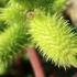 Paupinis dagišius - Xanthium albinum | Fotografijos autorius : Ramunė Vakarė | © Macrogamta.lt | Šis tinklapis priklauso bendruomenei kuri domisi makro fotografija ir fotografuoja gyvąjį makro pasaulį.