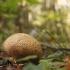 Paprastoji ankštenė - Scleroderma citrinum | Fotografijos autorius : Vidas Brazauskas | © Macrogamta.lt | Šis tinklapis priklauso bendruomenei kuri domisi makro fotografija ir fotografuoja gyvąjį makro pasaulį.