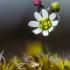 Pavasarinė ankstyvė | Spring draba | Draba verna | Fotografijos autorius : Darius Baužys | © Macrogamta.lt | Šis tinklapis priklauso bendruomenei kuri domisi makro fotografija ir fotografuoja gyvąjį makro pasaulį.